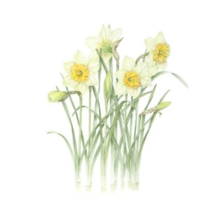 Narcissus Sps