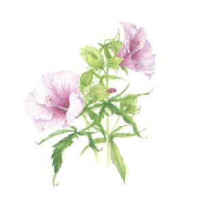 Hibiscus sps